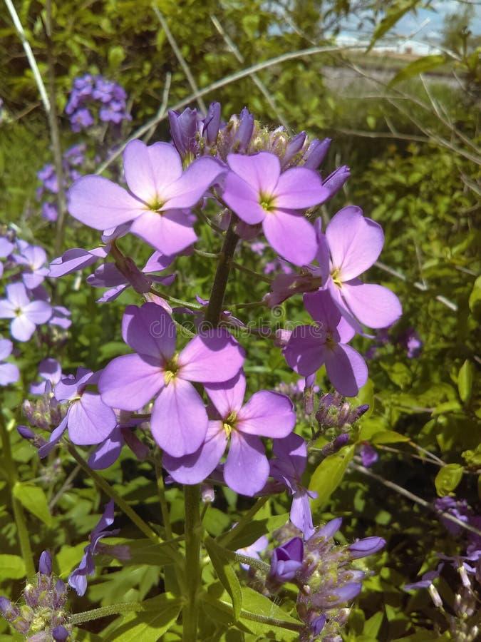 Nätta lilablommor arkivbild