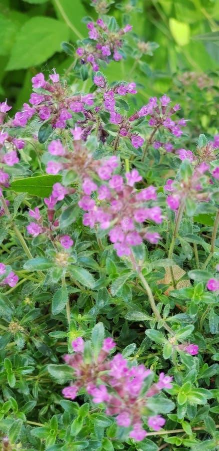 Nätta mini- purpurfärgade blommor royaltyfria bilder