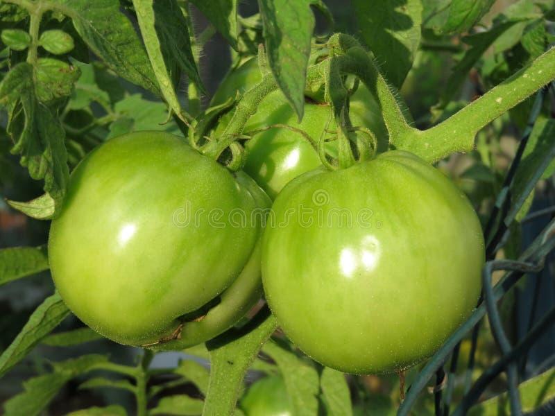 Nätta par av gröna tomater arkivfoto