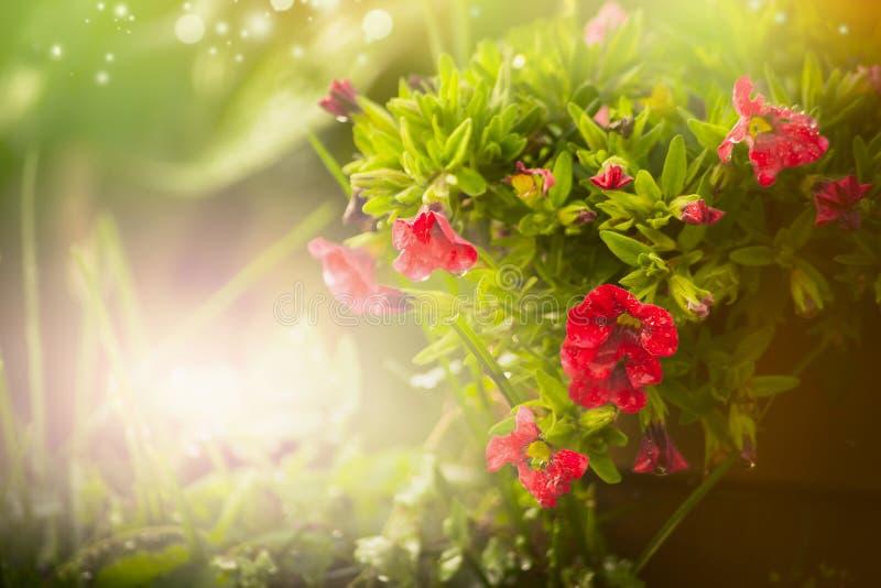 Nätta petuniablommor över härlig naturträdgård för sommar eller för vår royaltyfria foton