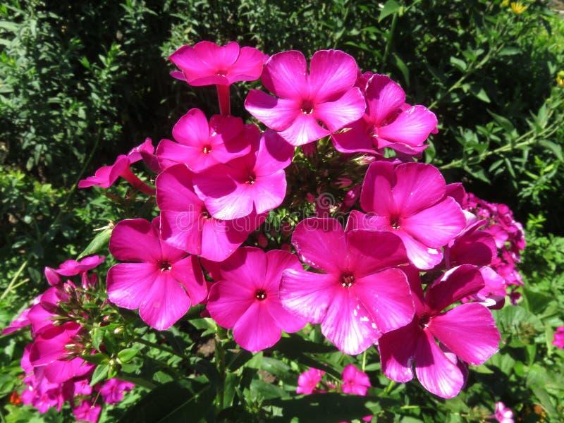 Nätta purpurfärgade blommor av sommar arkivfoto