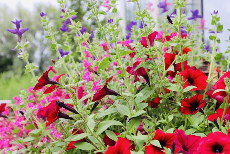 Nätta röda rosa och purpurfärgade växande blommande blommor royaltyfria foton