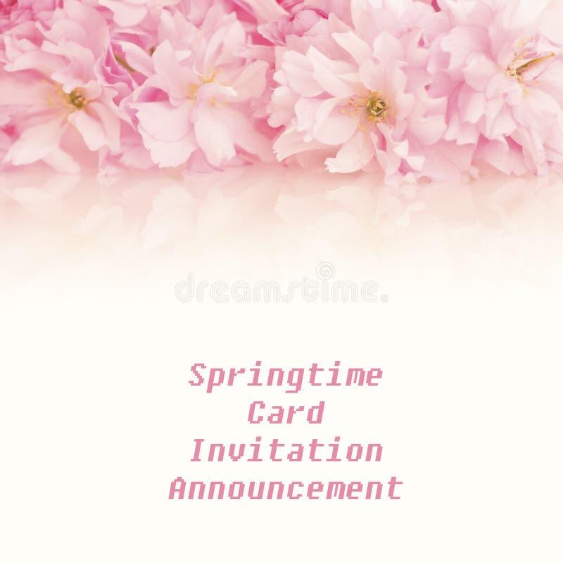 Nätta rosa färger fjädrar Cherry Blossom Clusters över överkanten eller över med tomt bakgrundsrum eller utrymme under för kopia,  royaltyfria bilder