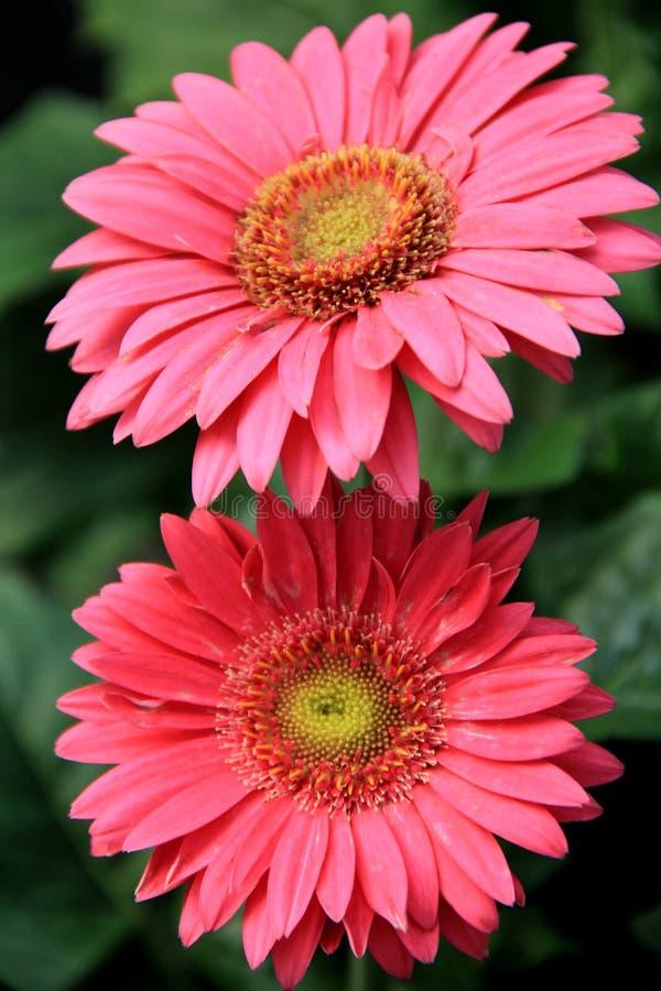 Nätta rosa Gerberatusenskönor arkivfoto