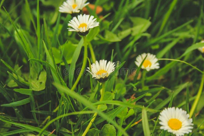 Nätta tusenskönablommor på grönt fält i Nya Zeeland arkivfoton