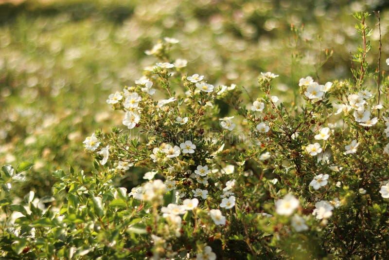 Nätta vita blommor i sommaren h?rlig naturplats arkivfoton