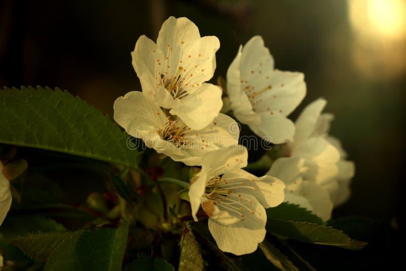 Några blomning av plommonträdet på vår trädgård på vänden av våren och sommaren Fotoet är i guld- ljus i guld- timme fotografering för bildbyråer