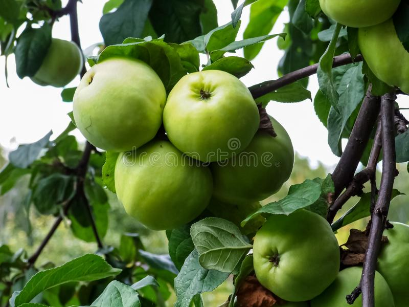 Några gröna äpplen på trädet Apple filial med frukter På filialcloseupen på bakgrunden av trädgården royaltyfri foto