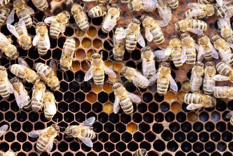 Några honungbin arbetar arkivbild
