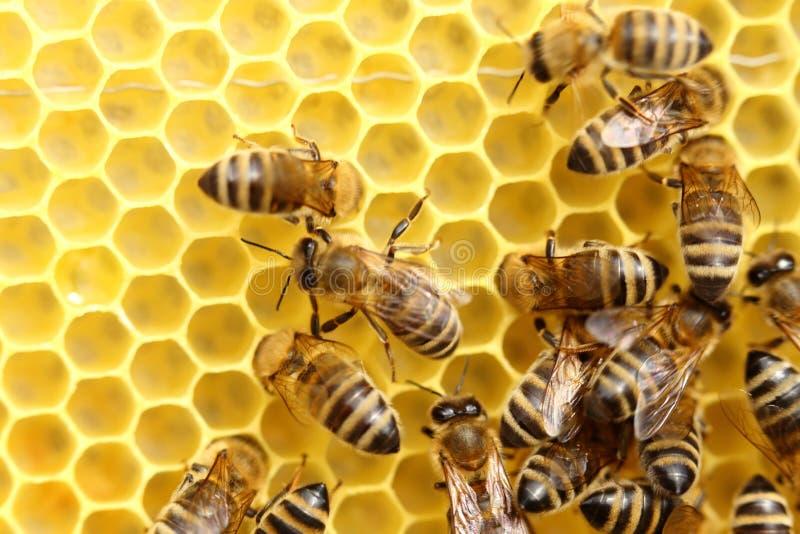 Några honungsbin arbetar royaltyfri foto