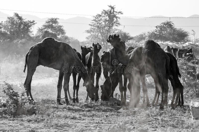 Några kamel i Pushkar, Mela fotografering för bildbyråer