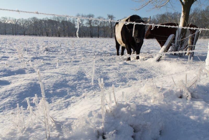 Några kor i snön fotografering för bildbyråer