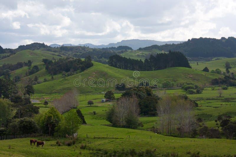 Några kor på gröna ängar och fält i den nyazeeländska bygden arkivbild