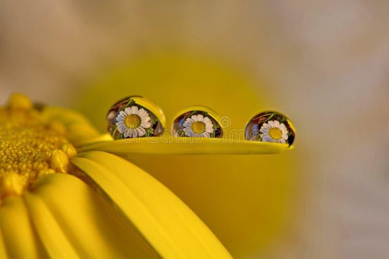 Några makrodroppar i daizy arkivfoton