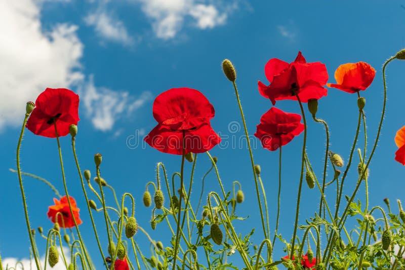 Några röda ljusa enkla vallmoblommor under ljus blå himmel, horisontalfoto royaltyfria bilder