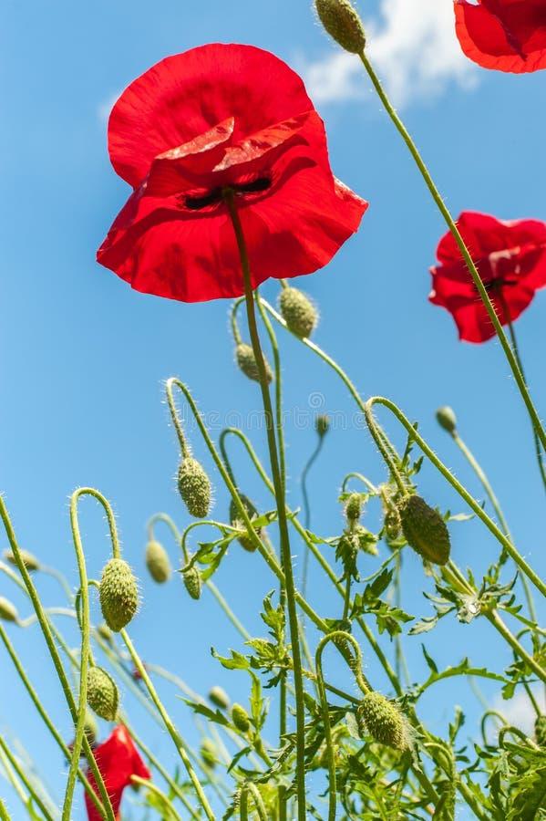 Några röda ljusa enkla vallmoblommor under ljus blå himmel, vertikalt foto royaltyfri bild
