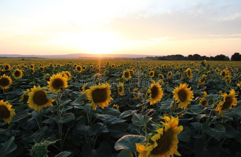 Några solrosor på ett fält royaltyfri foto