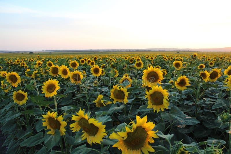 Några solrosor på ett fält royaltyfria foton