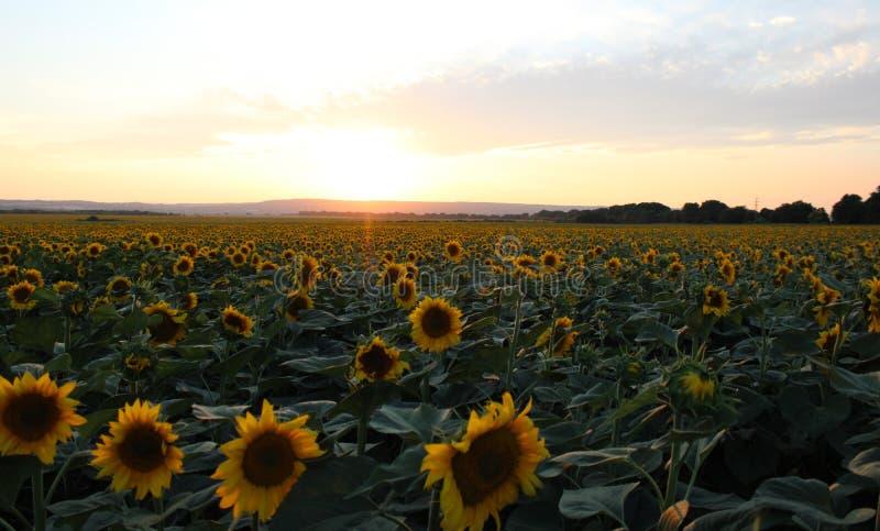 Några solrosor på ett fält fotografering för bildbyråer