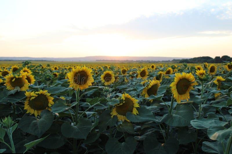 Några solrosor på ett fält royaltyfri bild