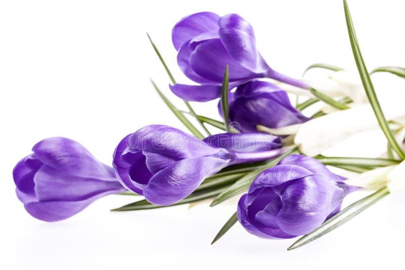 Några vårblommor av violett krokus som isoleras på vit bakgrund arkivbild