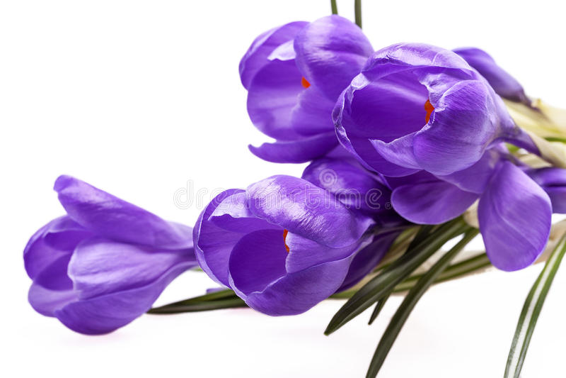 Några vårblommor av violett krokus som isoleras på vit bakgrund arkivbilder