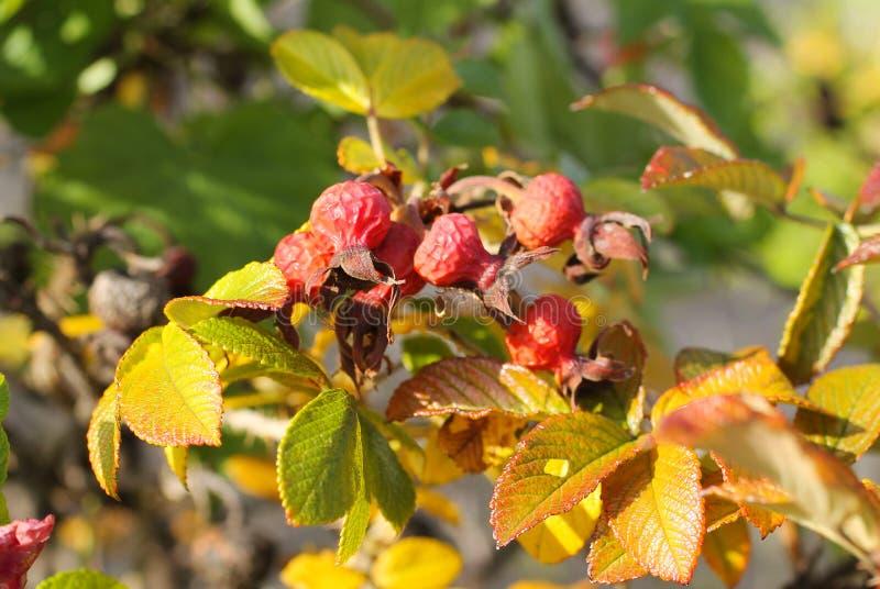 Nèfle en automne images stock