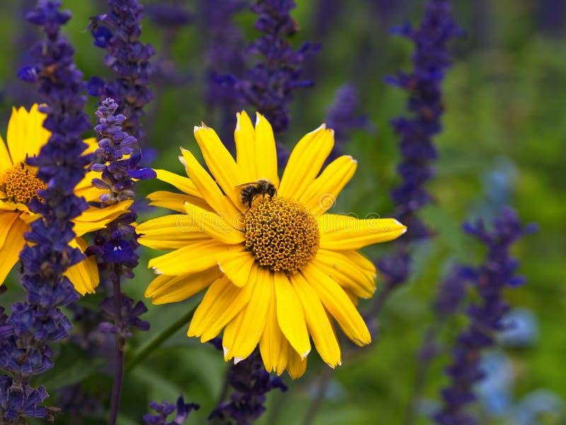 Néctar bebendo da abelha do mel de uma flor amarela brilhante foto de stock royalty free