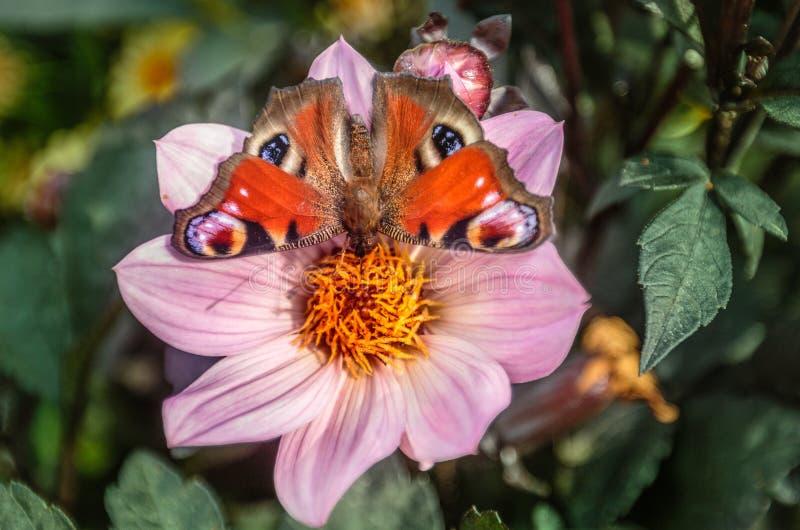 Néctar bebendo da borboleta de pavão da única chama da dália magenta fotos de stock royalty free