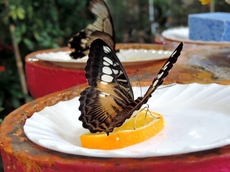 N?ctar de alimenta??o da borboleta de Parthenos Sylvia da laranja dentro do jardim da borboleta de Dubai imagem de stock royalty free