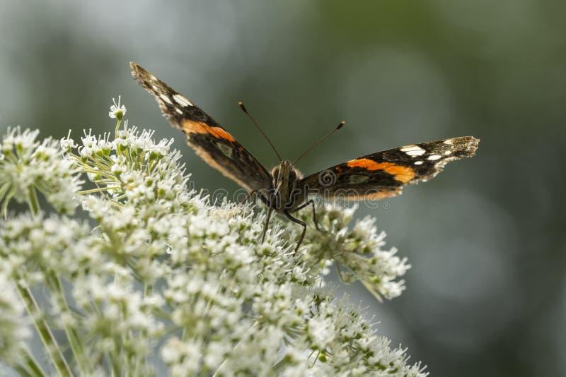 Néctar de alimentación del atalanta de Vanesa de la mariposa del almirante rojo fotos de archivo libres de regalías