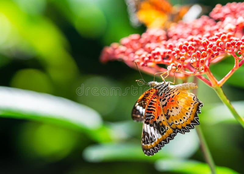 Néctar de consumición de la mariposa colorida en las flores y el fondo rojos de la falta de definición del verde de la naturaleza imagen de archivo