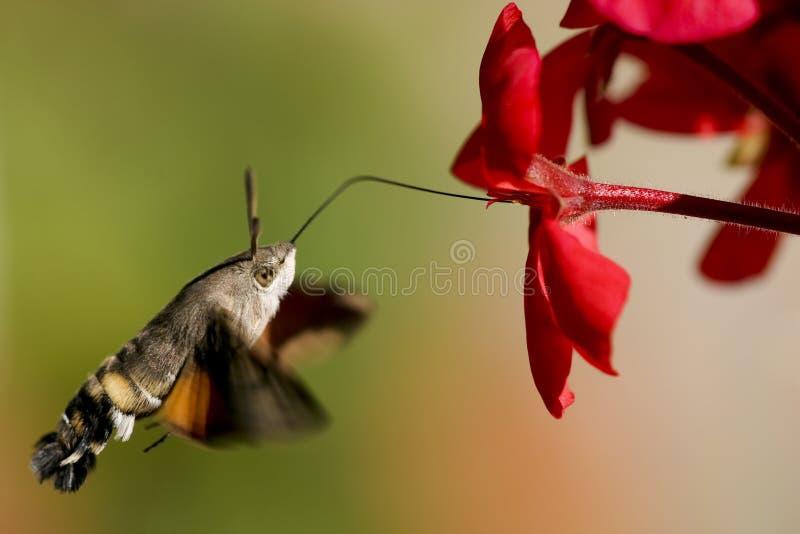 Néctar del geranio de la Halcón-polilla del colibrí fotografía de archivo libre de regalías
