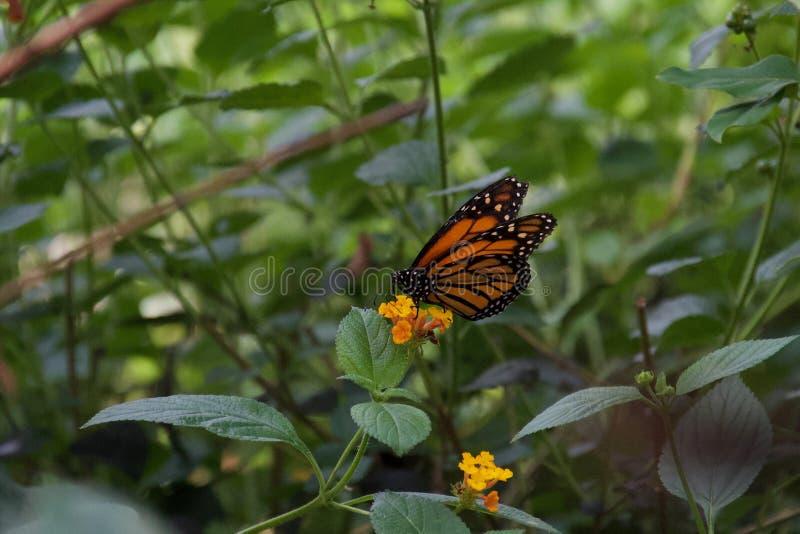 Néctar sorvendo da borboleta preta e alaranjada da flor amarela imagem de stock