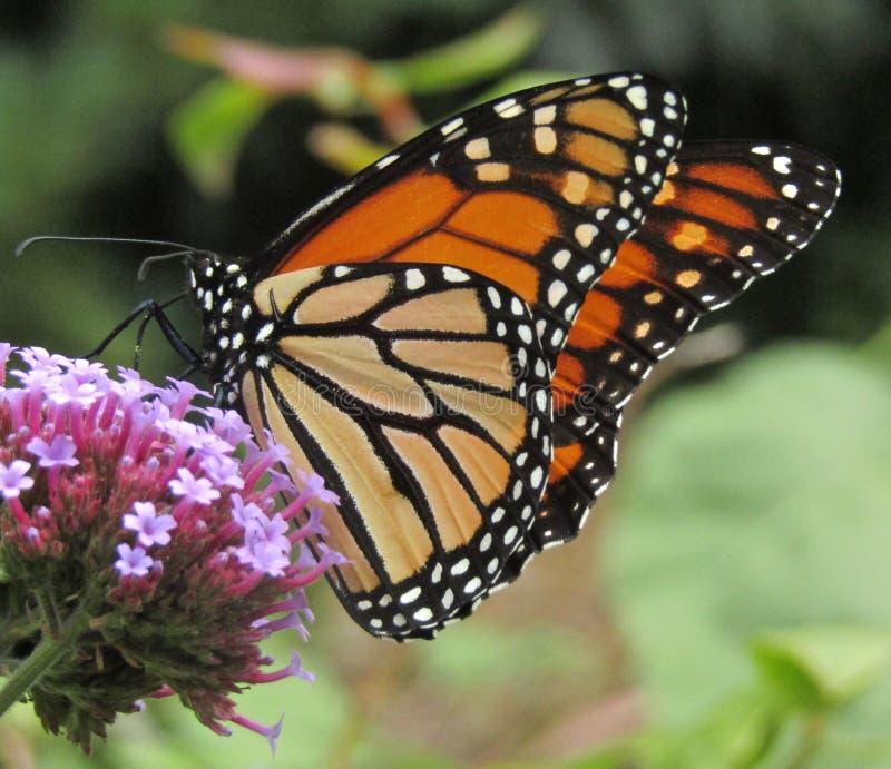 Néctar sorvendo do plexippus do Danaus da borboleta de monarca no wildflower do bonariensis do verbena imagens de stock royalty free