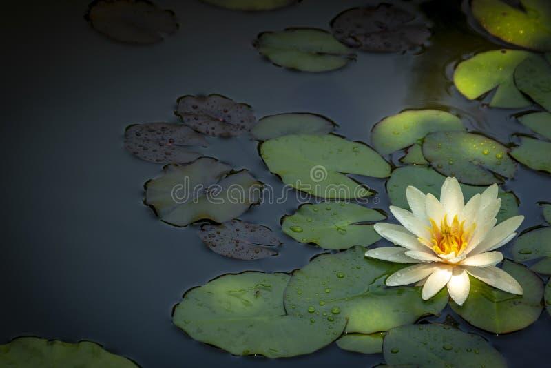 Nénuphar blanc Marliacea Rosea ou fleur de lotus Nymphaea dans un étang sur un fond des feuilles vert-foncé Ils sont couverts de  image stock