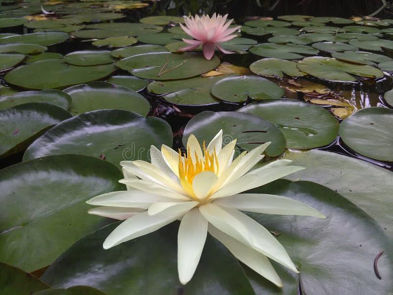 Nénuphar dans le lac privé photos libres de droits