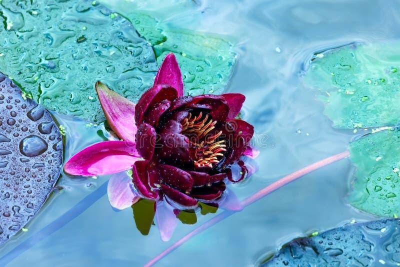 Nénuphar de laret de ¡ de Ð avec des baisses de l'eau sur des pétales dans un étang image libre de droits