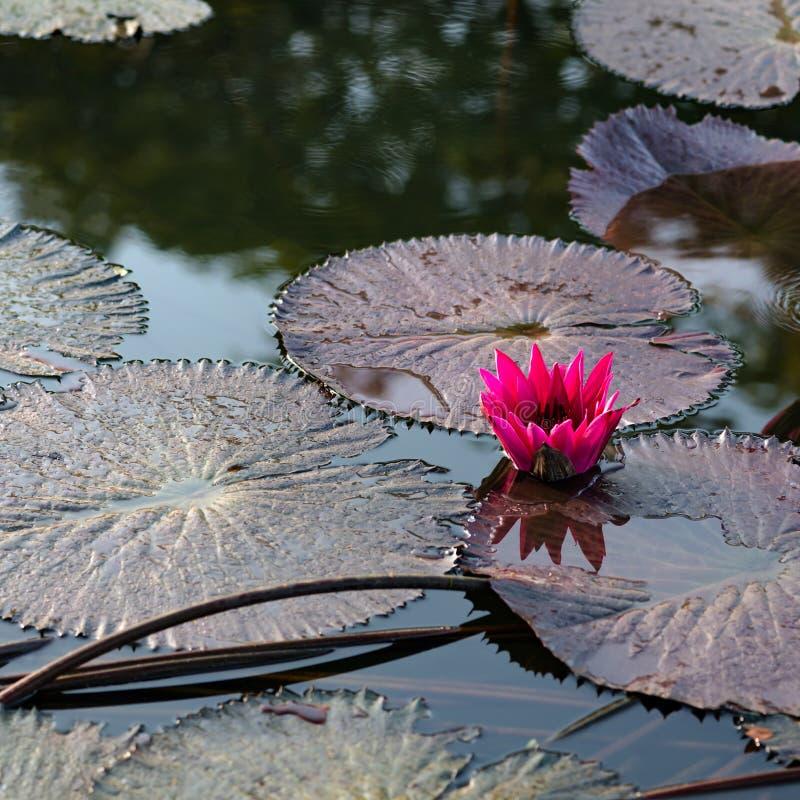 Nénuphar exotique rose dans la place tropicale du Tobago d'étang photo stock
