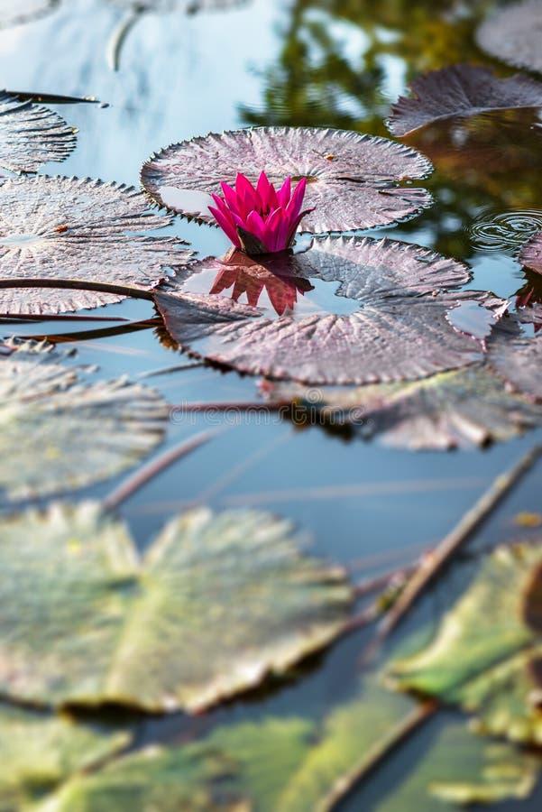 Nénuphar exotique rose simple dans l'étang tropical Tobago photos stock