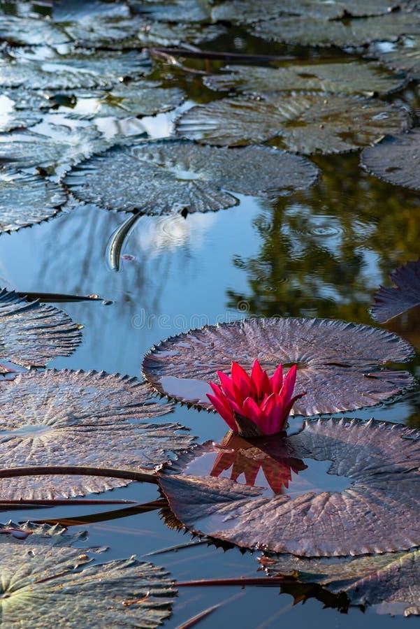Nénuphar exotique rose simple dans l'étang tropical Tobago image libre de droits