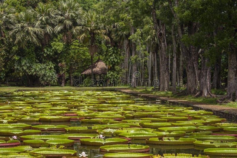 Nénuphar géant dans le jardin botanique de Pamplemousse Île Îles Maurice photographie stock