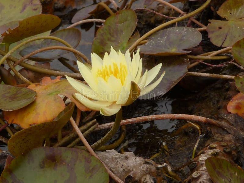 Nénuphar jaune image stock