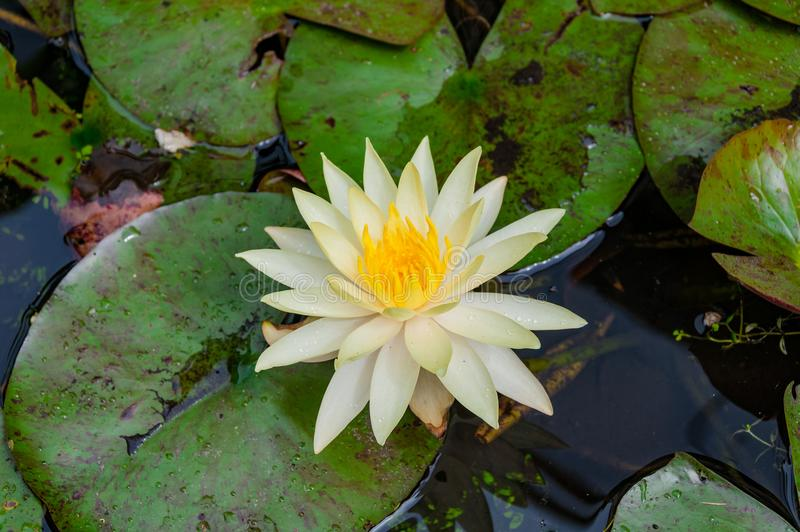 nénuphar, lotus avec les pétales blancs et centre jaune photographie stock libre de droits