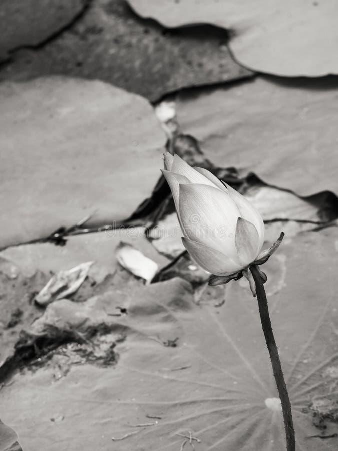 Nénuphar/lotus dans l'environnement naturel en noir et blanc photos stock