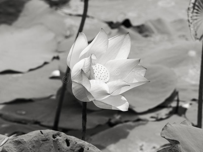 Nénuphar/lotus dans l'environnement naturel en noir et blanc image libre de droits
