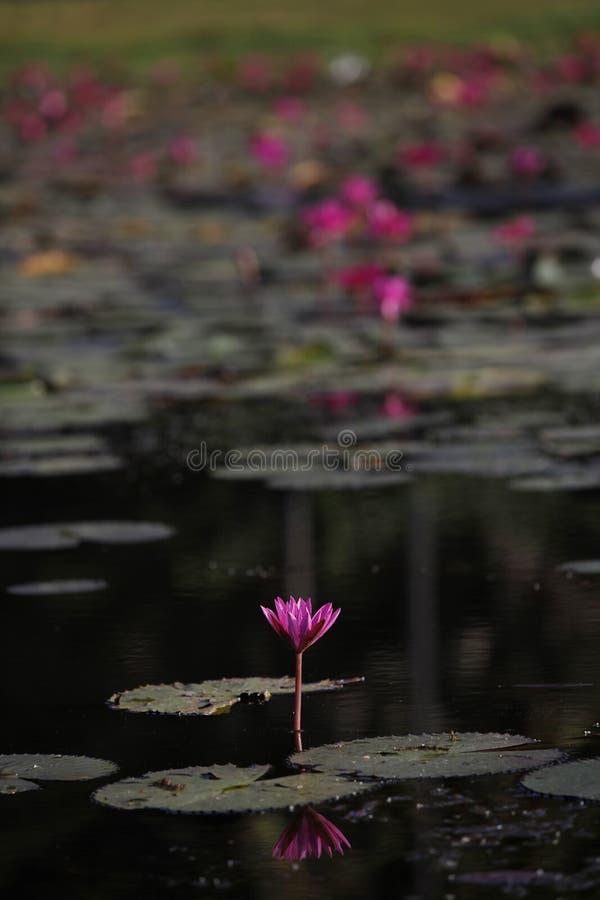 Nénuphar rose dans un étang sur un fond des feuilles photographie stock