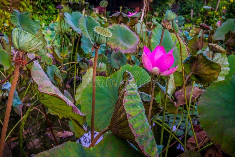Nénuphar rose de floraison dans un étang photos libres de droits