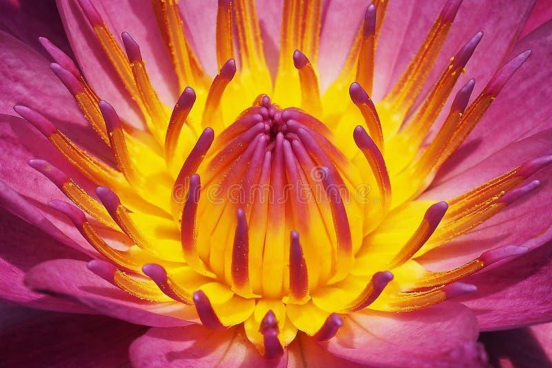 nénuphar rose fleurissant avec le pollen jaune au milieu image stock