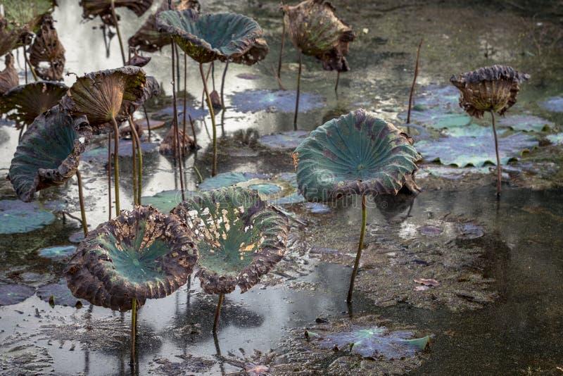 Nénuphars d'étang de Waterlily, secs et morts, fleur de lotus morte, beau fond coloré avec le nénuphar dans l'étang photographie stock libre de droits